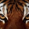 Камень Тигровый Глаз