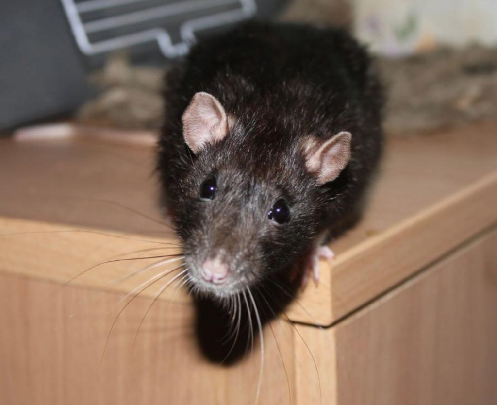 мышь на кухне