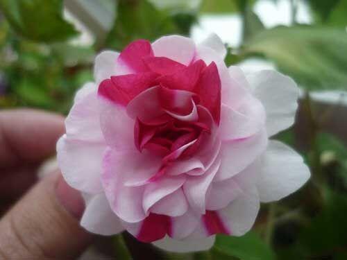 Цветочек Бальзамина