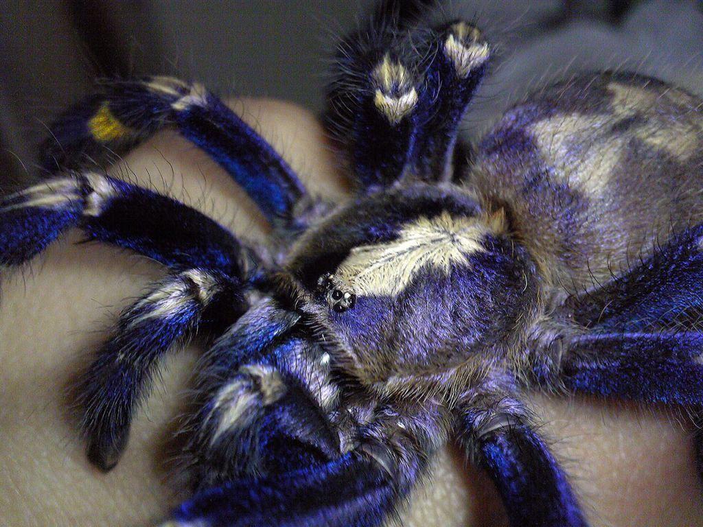 Синий паук - самый красивый в мире