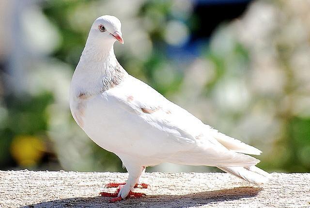 белоснежный голубь