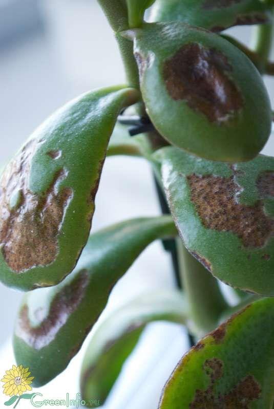 Больное растение