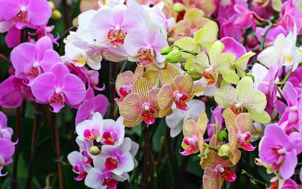 Цвет орхидеи