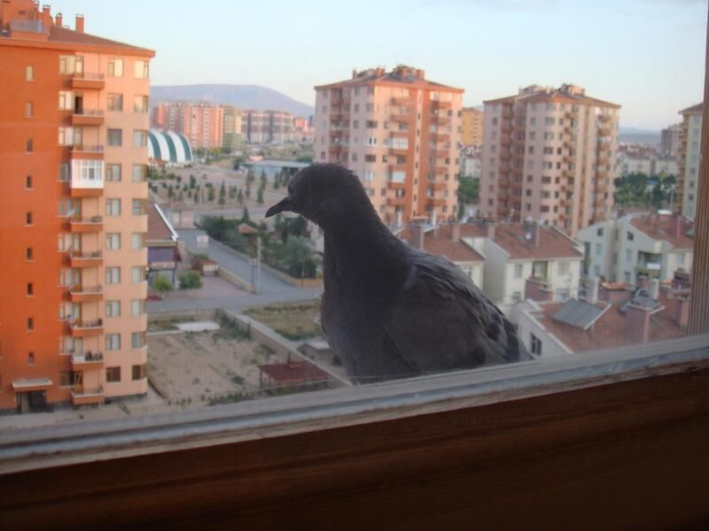 голубь возле окна