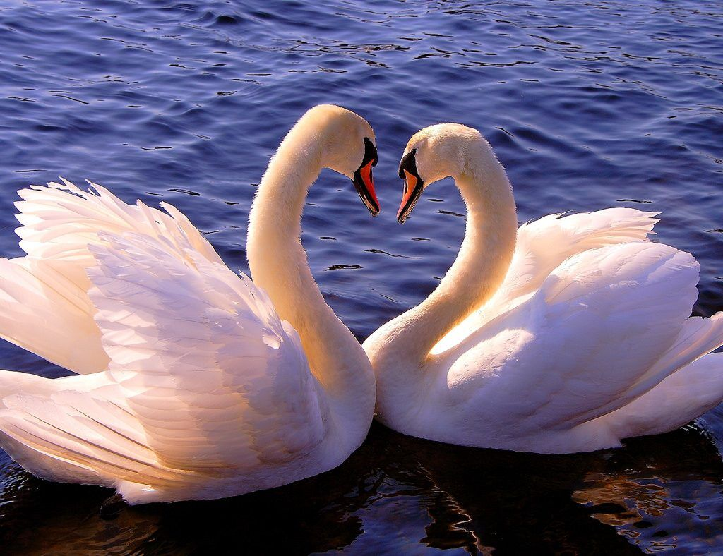 Лебеди -символ верности