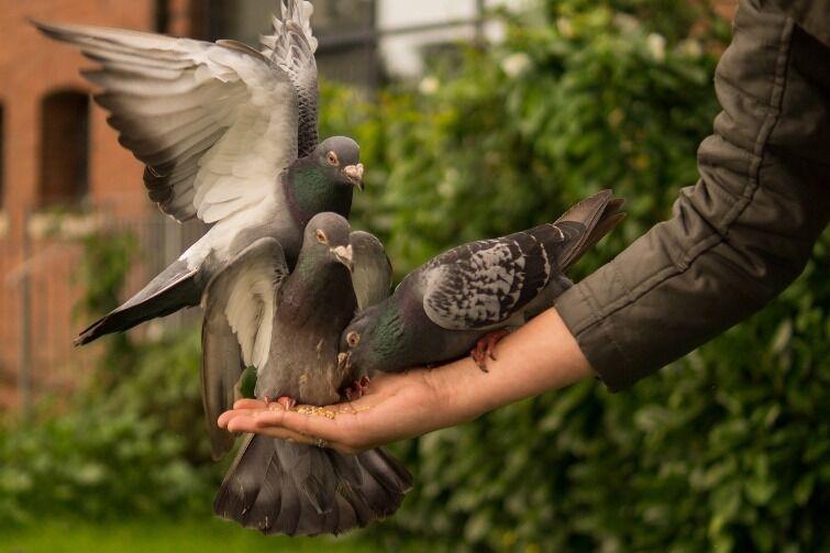 голуби сели на руку