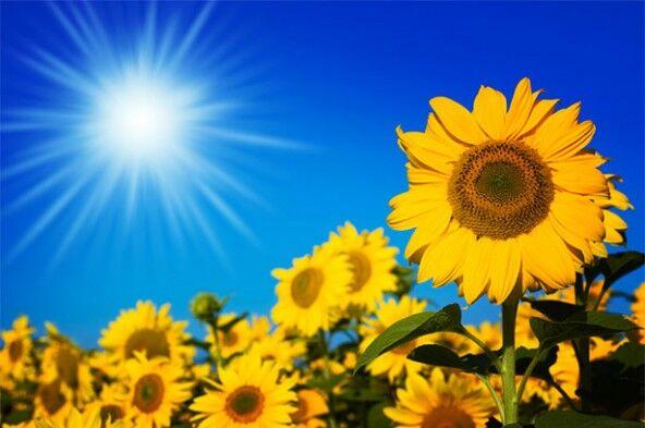 Растения Солнца