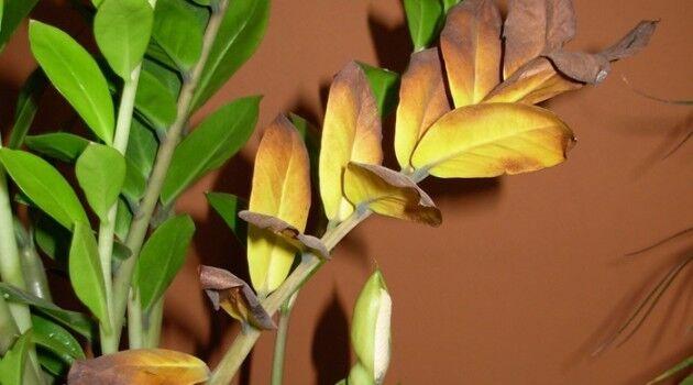 Желтеющие листья