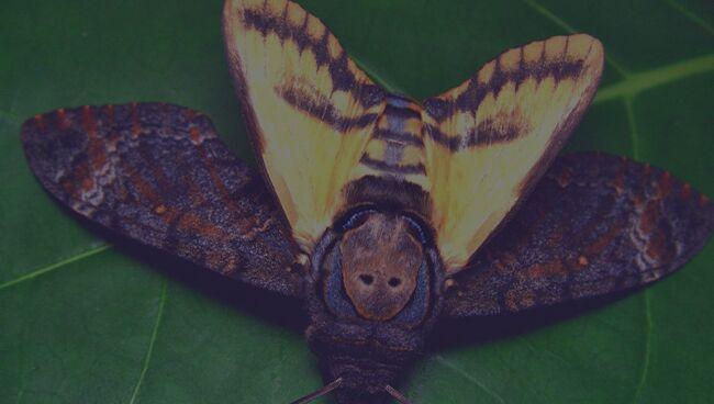 Размер бабочки по соннику