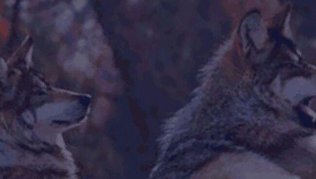 К чему снятся волки во сне значение