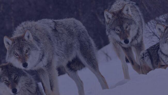 К чему снятся волки во сне