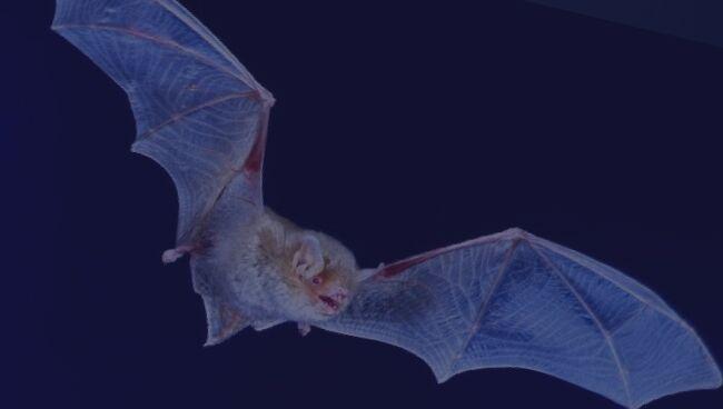 Сонник на летучую мышь
