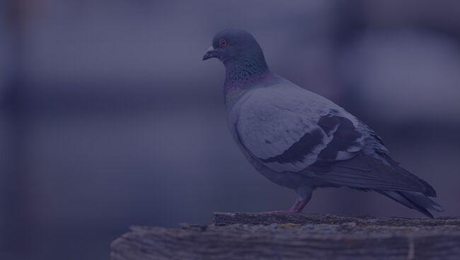 Примета птица ударилась в окно и улетела голубь