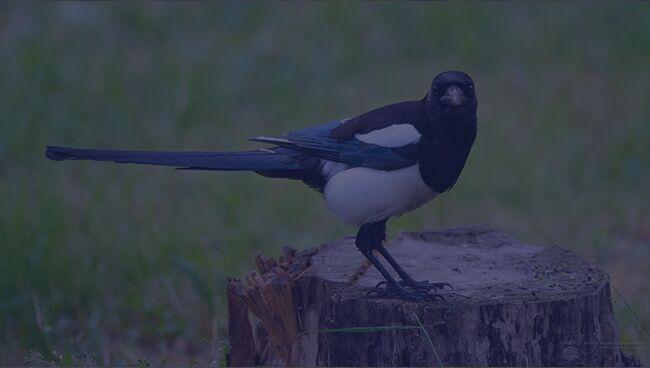Примета птица ударилась в окно и улетела сорока
