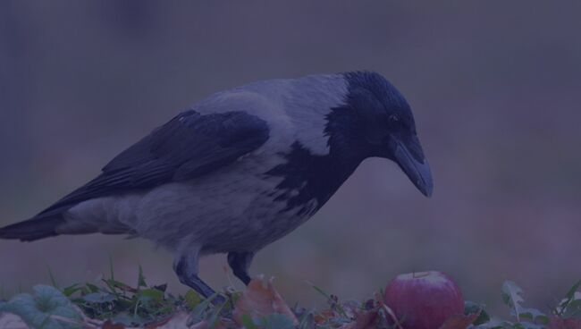 Примета птица ударилась в окно и улетела ворона