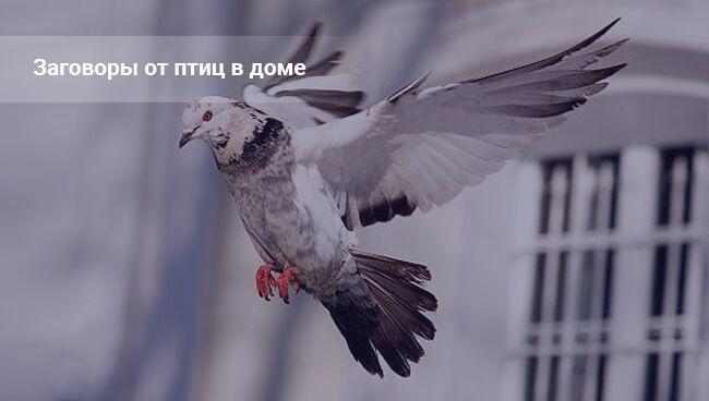 Прилетел голубь на балкон. Примета