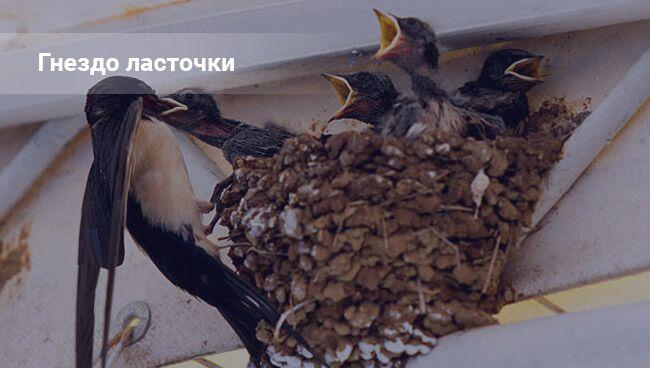 Ласточки свили гнездо в доме: к чему это