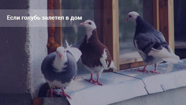 Примета: голубь залетел в окно в квартиру