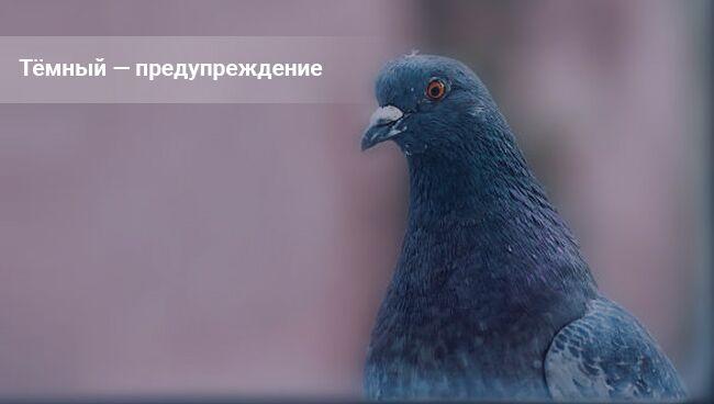 К чему голубь стучится в окно. Примета