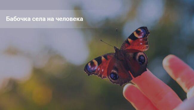 Примета: бабочка села на человека