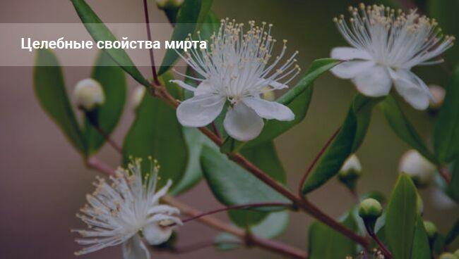 Цветок мирт: приметы и суеверия