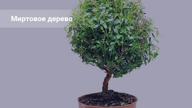 Мирт дерево: приметы и суеверия