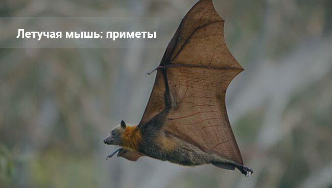 Летучая: мышь приметы