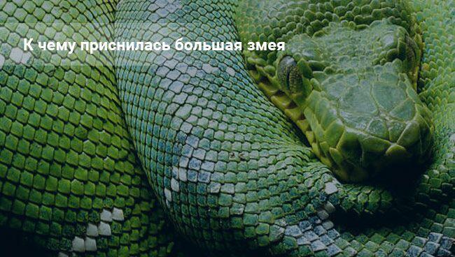 Сонник змея большая